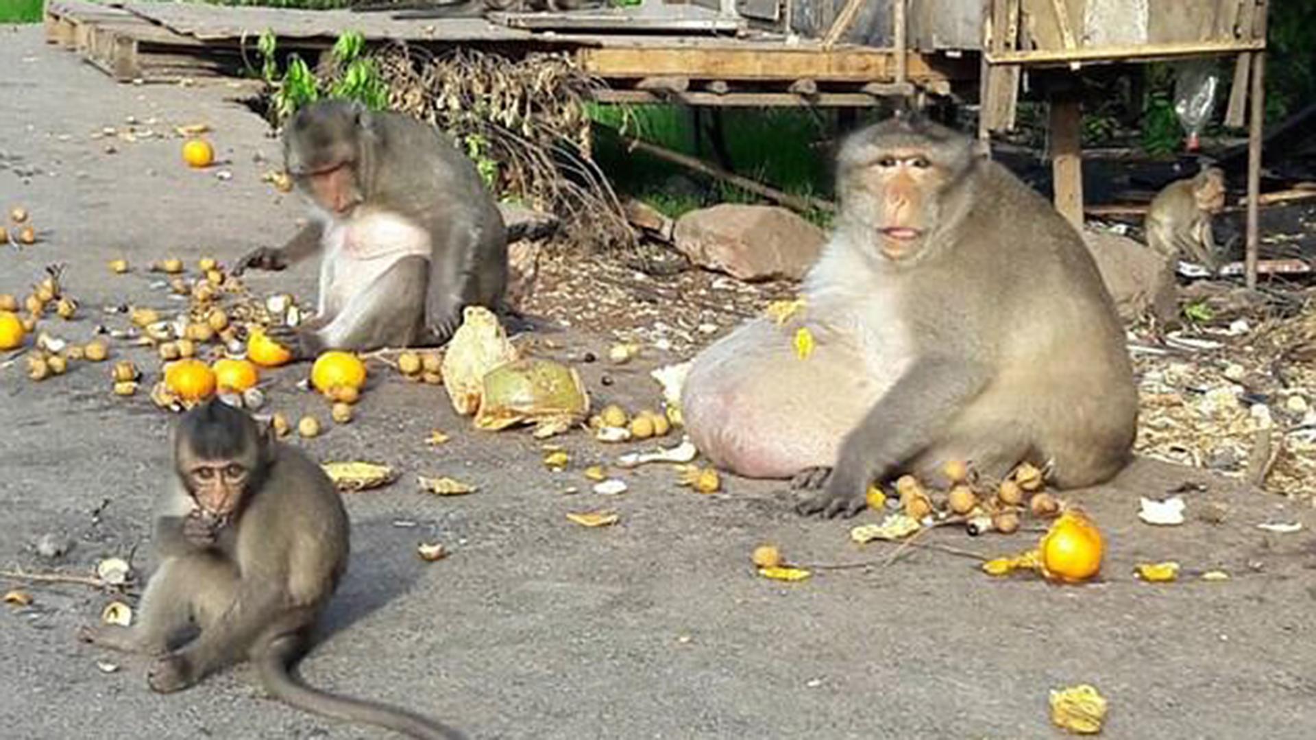 Tío Gordo, mono adicto a la comida basura