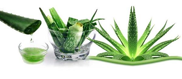 Aloe vera como medicina