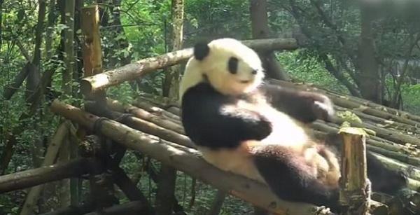 oso panda haciendo abdominales