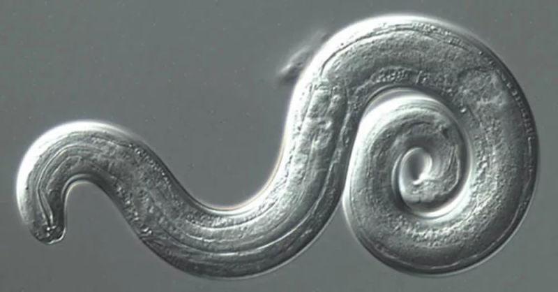 Este gusano invade cerebros y se está expandiendo a una velocidad alarmante