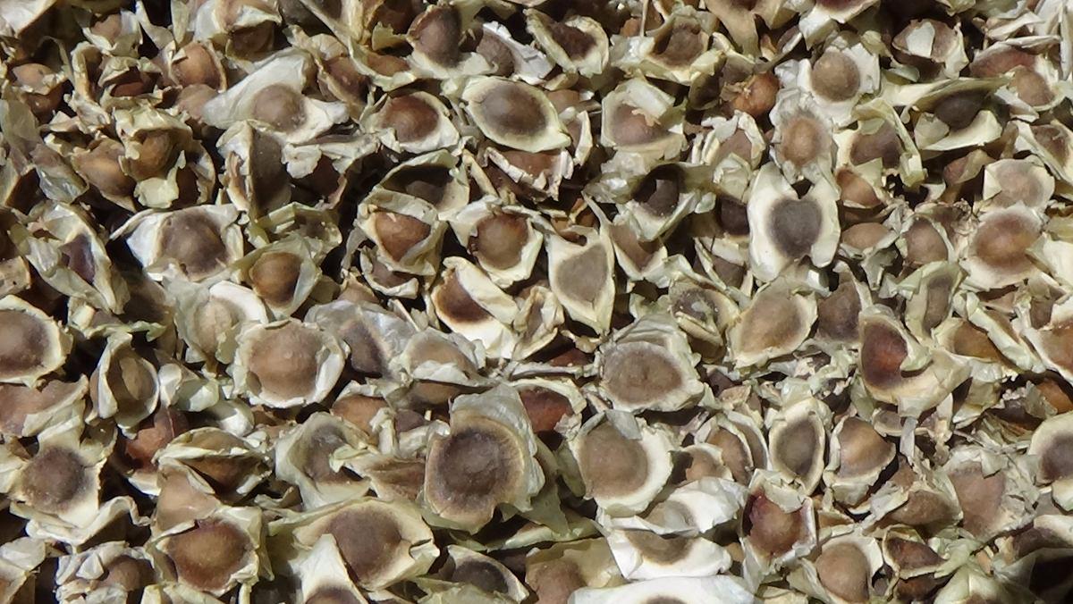 ¿Adelgazan las semillas de moringa?