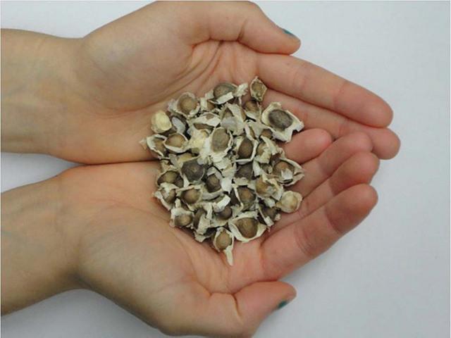 alergia o intolerancia a las semillas de moringa